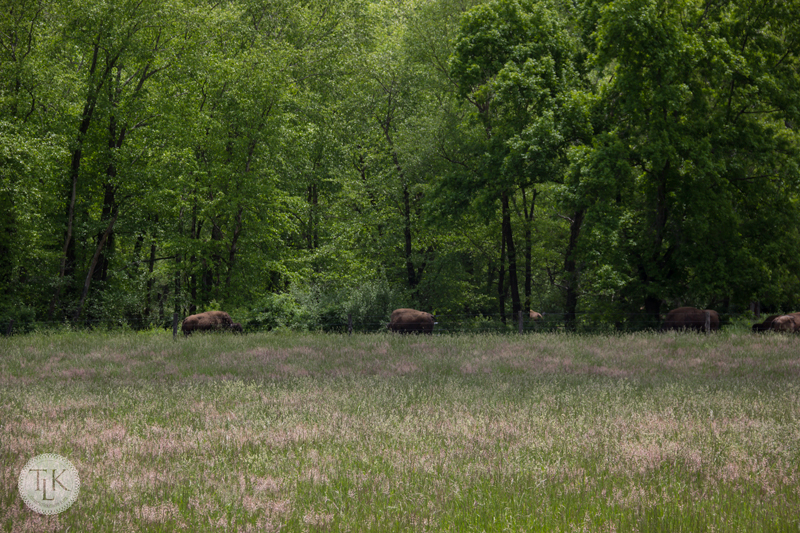 Buffalo at the edge of  a field in Paint Bank, Virginia