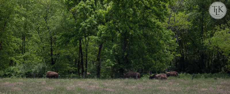 Where the Buffalo roam in Paint Bank, Virginia