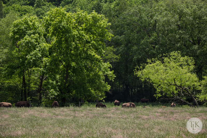 Where the Buffalo Roam in Craig County, Virginia