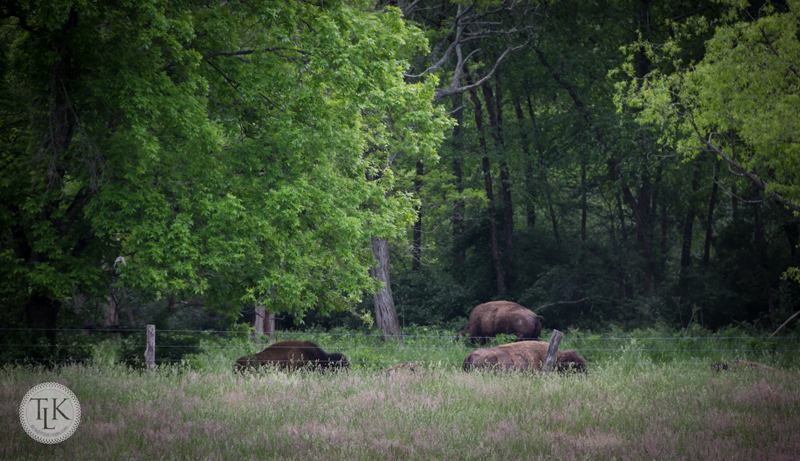 Buffalo in Paint Bank, Virginia