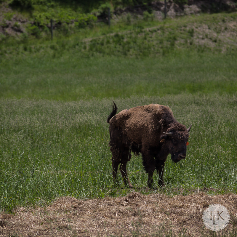 Buffalo at Potts Creek Outfitters