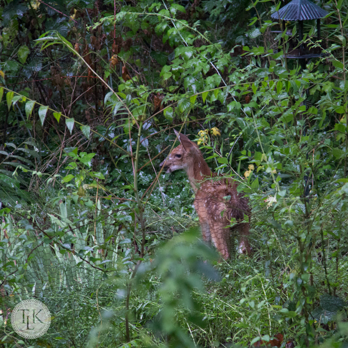Our fawn