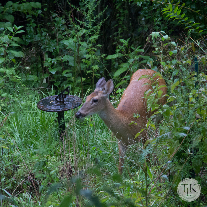Our deer