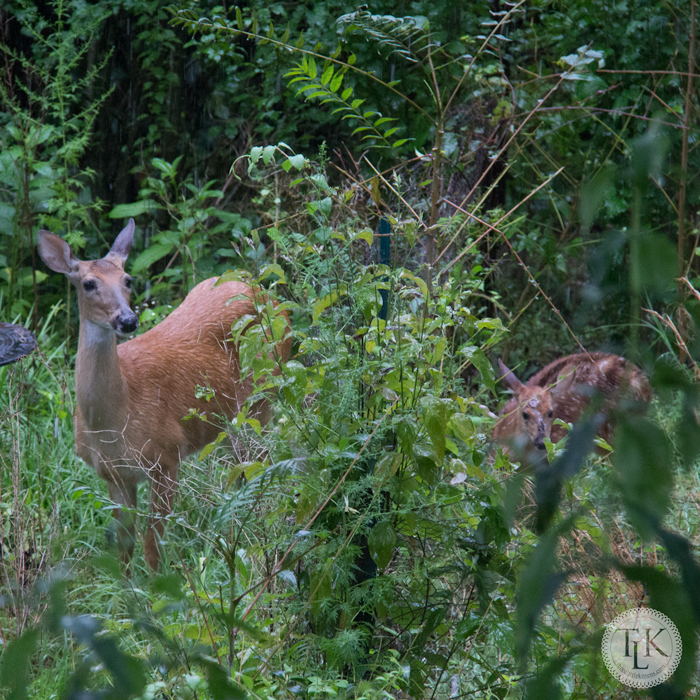 Our deer and fawn