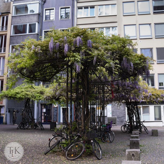 Wisteria-Umbrellas-Cologne