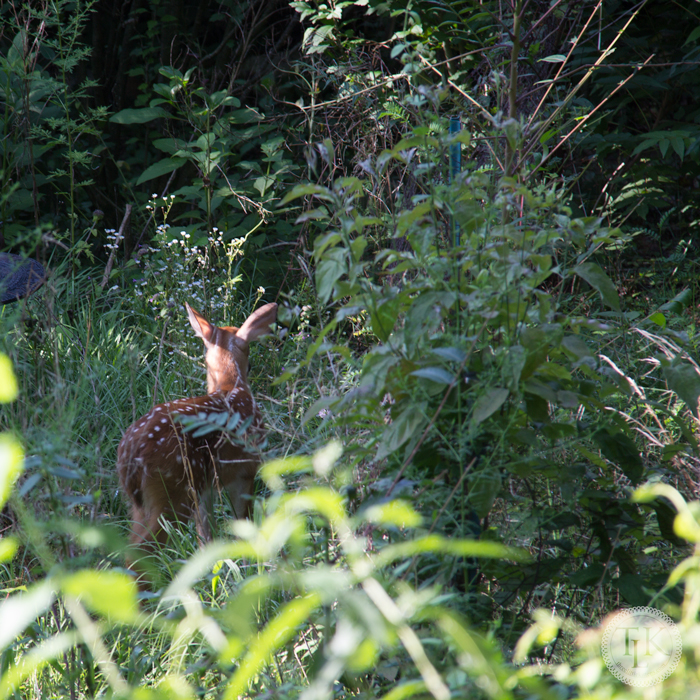 This year's fawn shows up in our garden