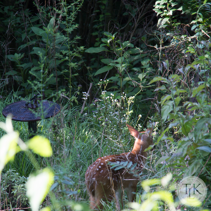Our fawn investigating the garden