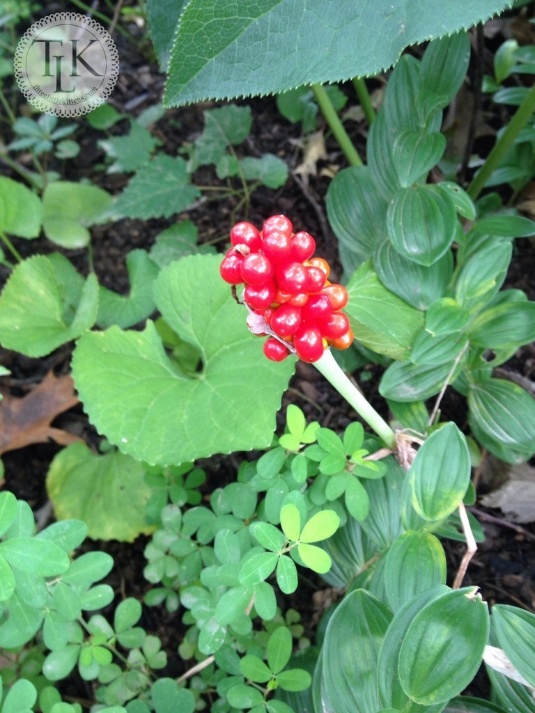 Jack in the Pulpit Seeds