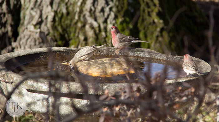 Sunday-Bliss-Finches-at-the-Birdbath