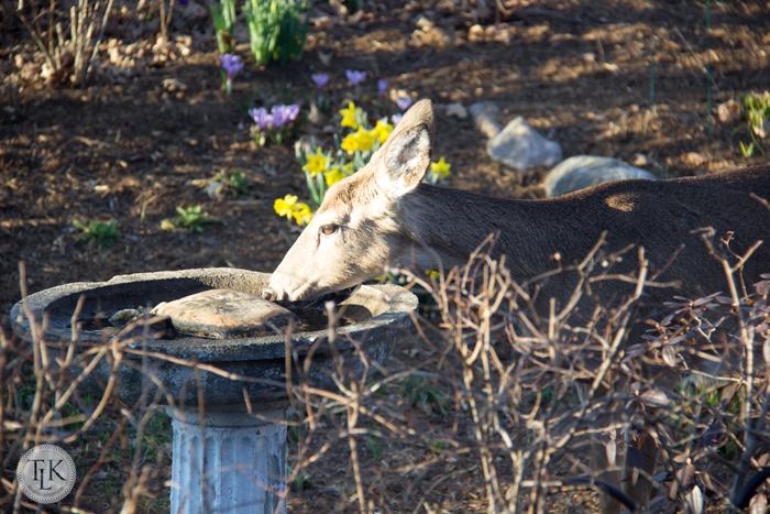 Deer at the birdbath