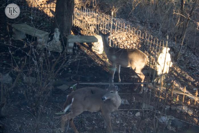 Two deer in the garden