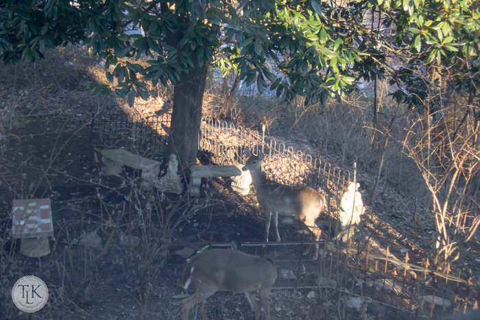 Deer in the garden