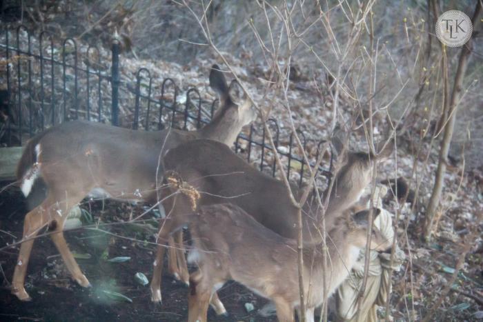 Trio of deer in the garden