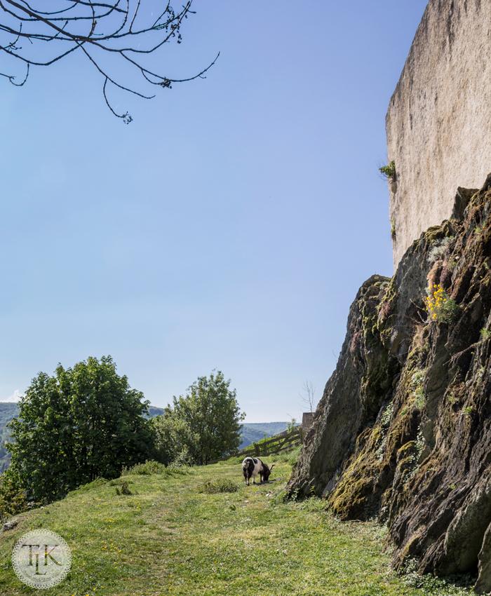 Marksburg-Castle-Goat-01