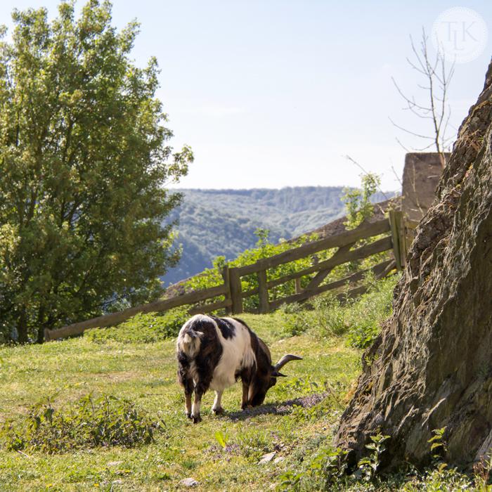 Marksburg-Castle-Goat-02