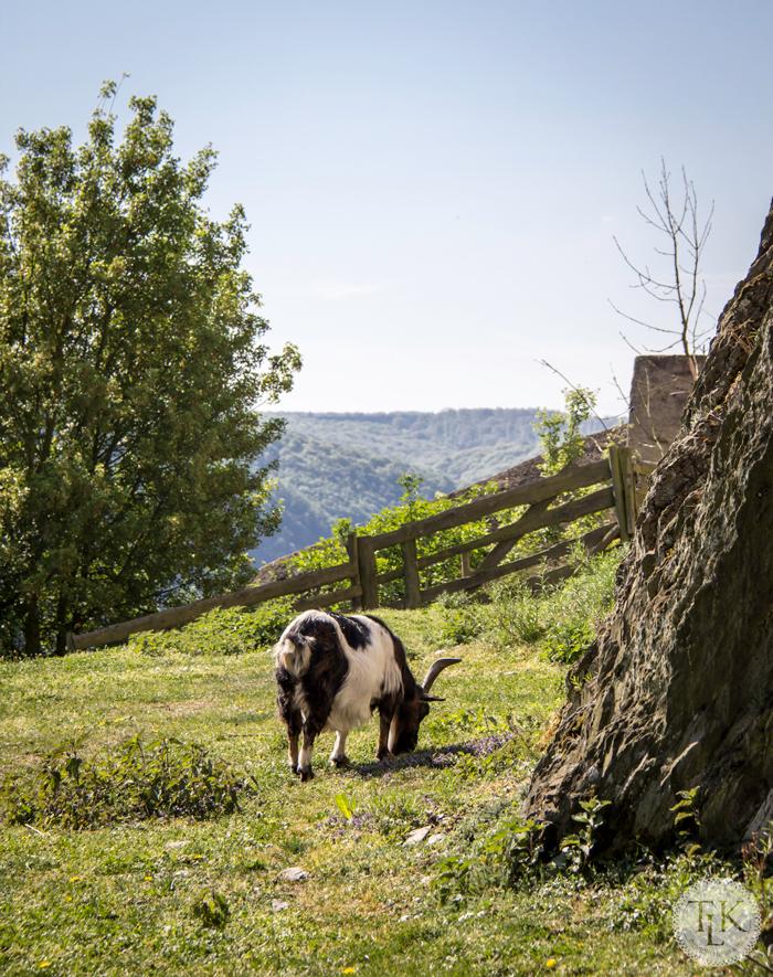 Marksburg-Castle-Goat-03