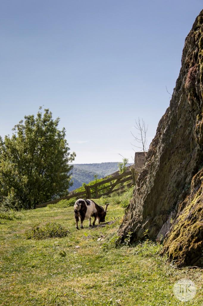 Marksburg-Castle-Goat-04