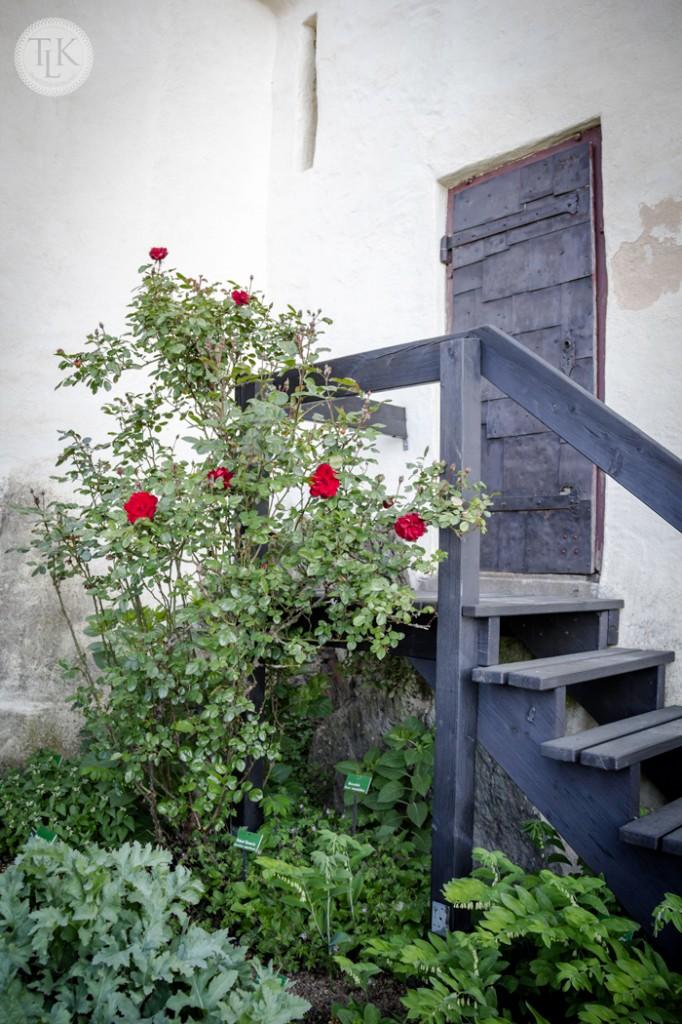 Roses-in-the-Garden-at-Marksburg-Castle