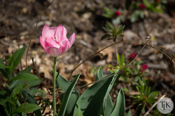 Angelique Peony Tulip