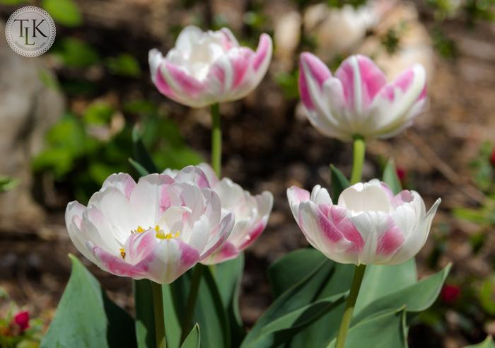 Angelilque-Tulips-Squared