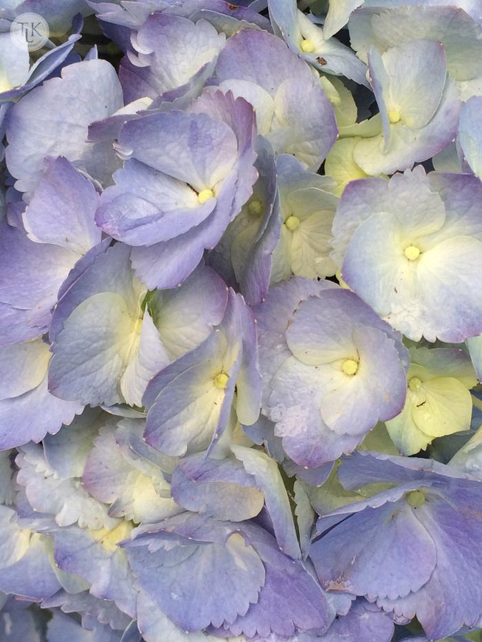 Blue-Tinged-Hydrangea