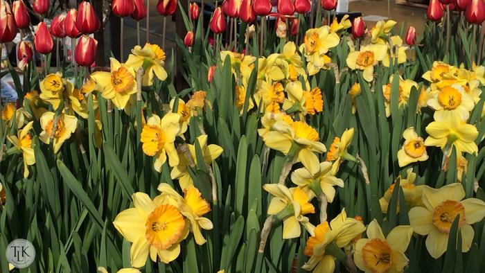 Daffodills-2