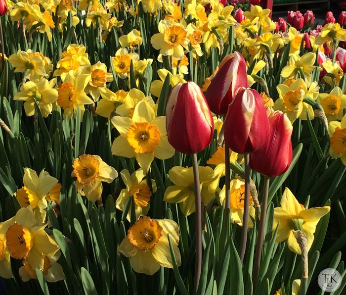Daffodils-and-Tulips