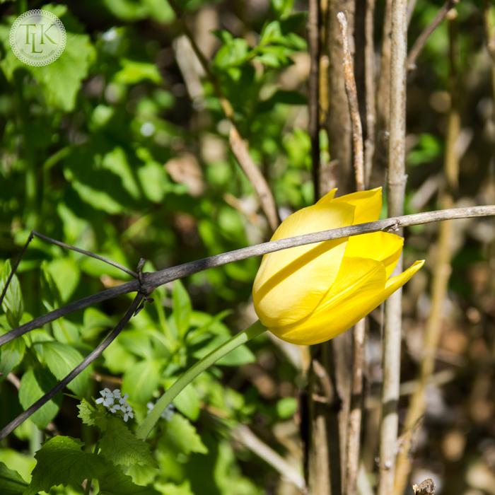 Hidden Yellow Tulip