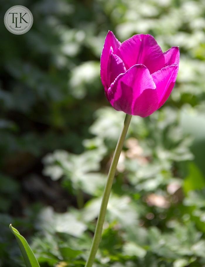 Megenta Tulip