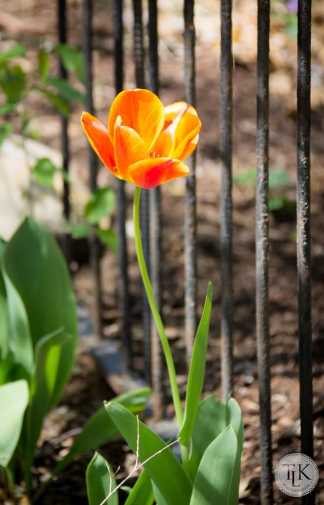 Orangey Tuli[p