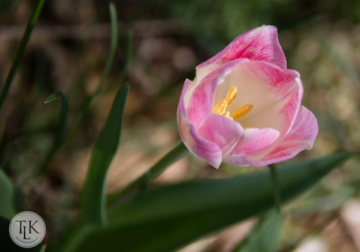 Pink and WhiteTulip
