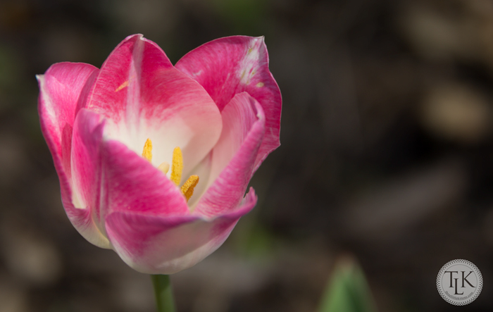 Pink and White Tulip
