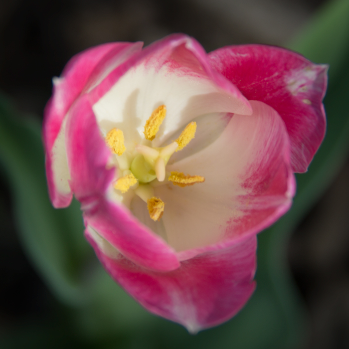Pink and White Tulip Center