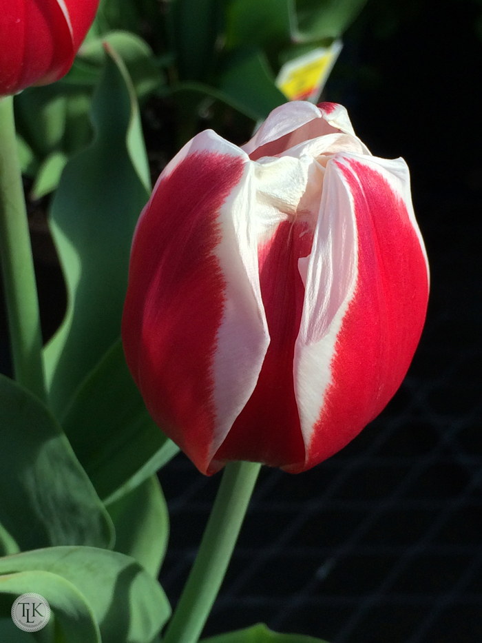 Red-and-White-Tulip