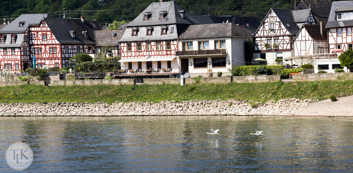 Swans-on-the-Rhine-in-Spay-Germany-01