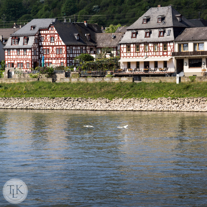 Swans-on-the-Rhine-in-the-Village-of-Spay-Germany-02