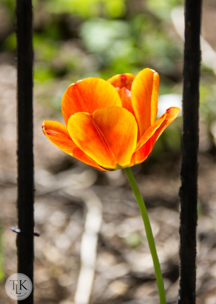 Tulip Behind Bars