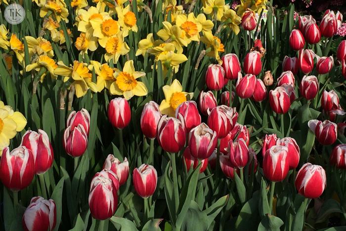 Tulips-and-Daffodils