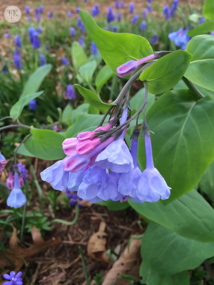 Virignia Bluebells