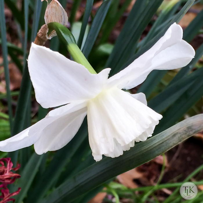 White-Daffodil