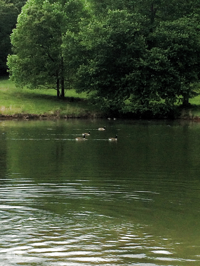 Canadian Geese swimming on our neighbor's pond