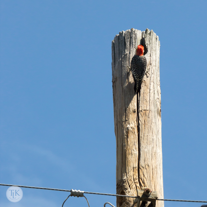 Red Bellied Woodpecker - Anyone Home?