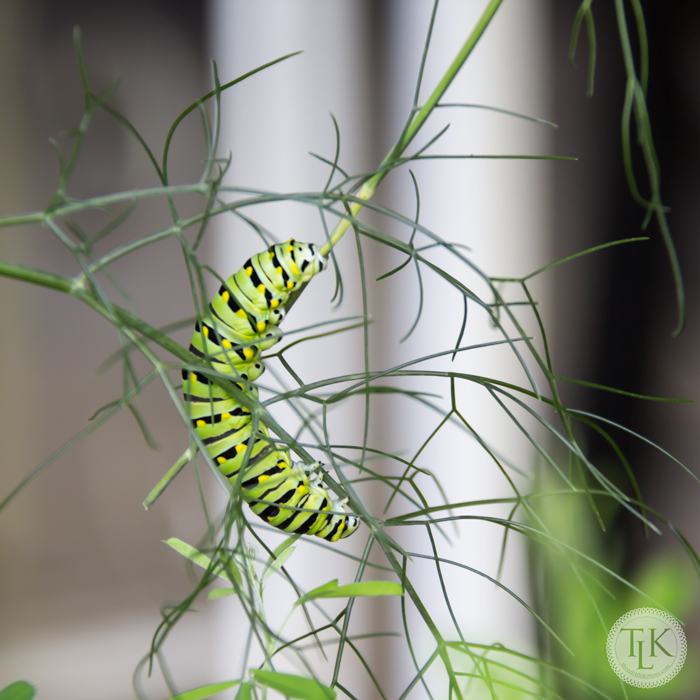 Heads-or-Tails - It's a Monarch Butterfly Caerpillar on the Fennel