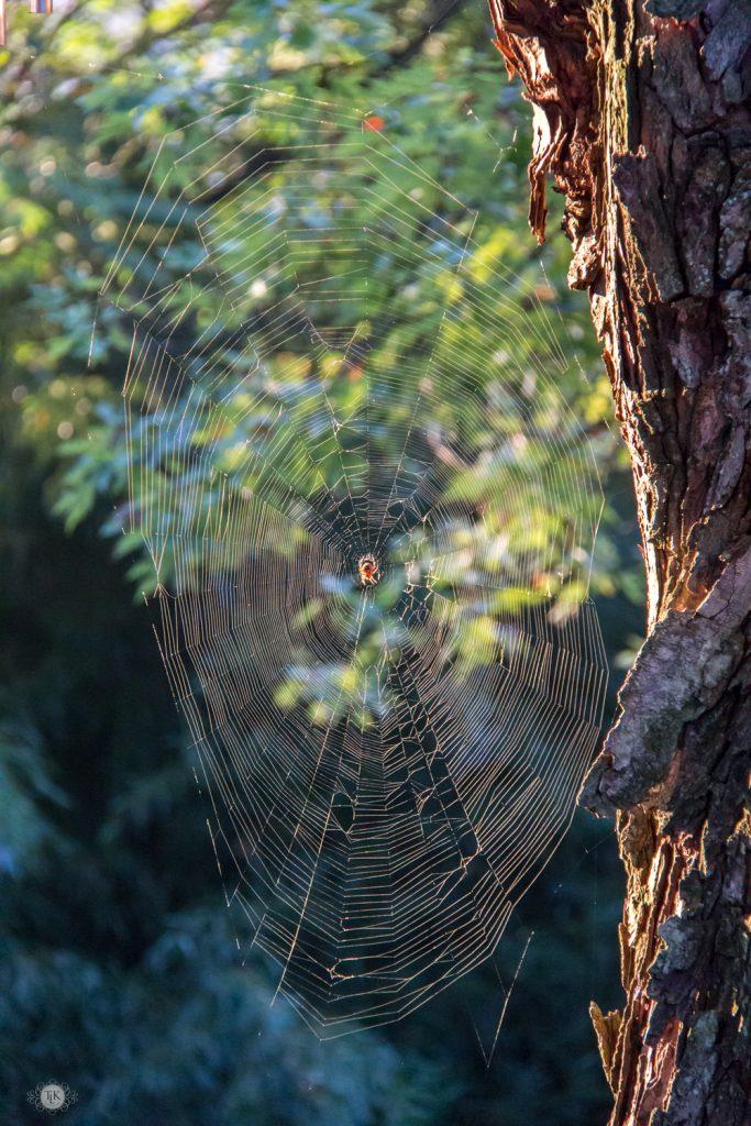THREE LITTLE KITTENS BLOG | Garden Orb Weaver and it's beautiful web
