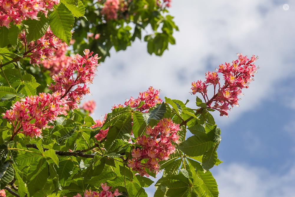 THREE LITTLE KITTENS BLOG | Red Horsechestnut Blooms